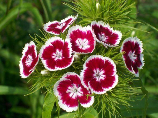 Dianthus-barbatus-large